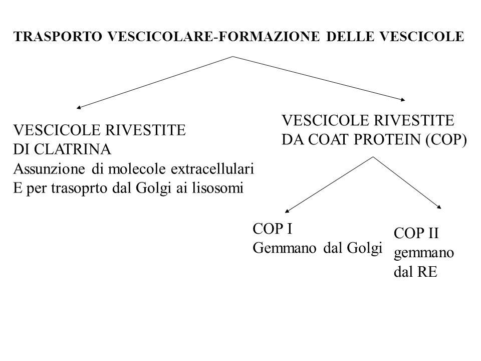 TRASPORTO VESCICOLARE-FORMAZIONE DELLE VESCICOLE VESCICOLE RIVESTITE DI CLATRINA Assunzione di molecole extracellulari E per trasoprto dal Golgi ai li