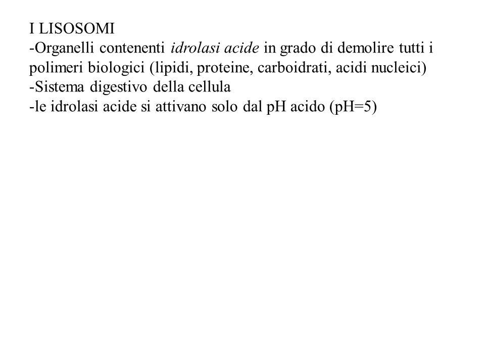 I LISOSOMI -Organelli contenenti idrolasi acide in grado di demolire tutti i polimeri biologici (lipidi, proteine, carboidrati, acidi nucleici) -Siste