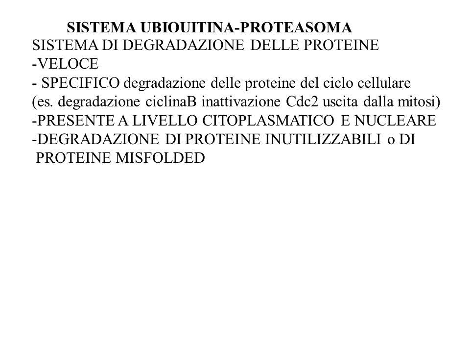 SISTEMA UBIQUITINA-PROTEASOMA SISTEMA DI DEGRADAZIONE DELLE PROTEINE -VELOCE - SPECIFICO degradazione delle proteine del ciclo cellulare (es. degradaz