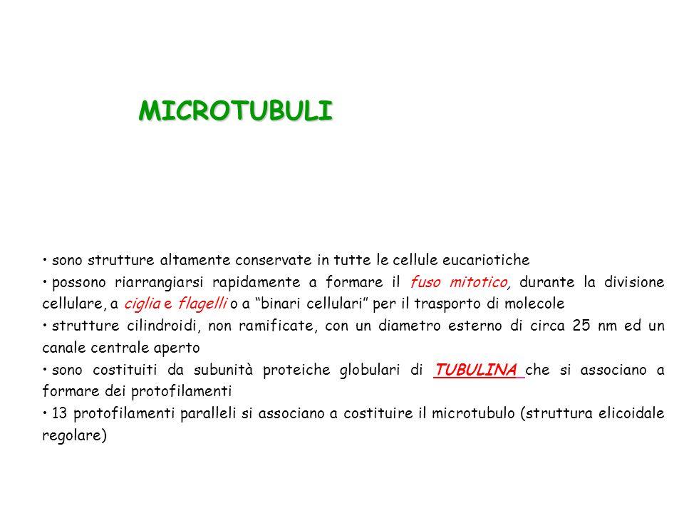 MICROTUBULI MICROTUBULI sono strutture altamente conservate in tutte le cellule eucariotiche possono riarrangiarsi rapidamente a formare il fuso mitot