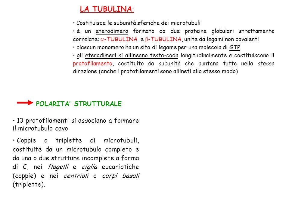 LA TUBULINA : Costituisce le subunità sferiche dei microtubuli è un eterodimero formato da due proteine globulari strettamente correlate: -TUBULINA e