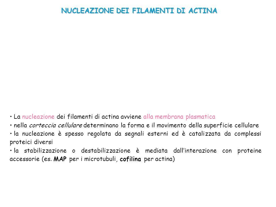 NUCLEAZIONE DEI FILAMENTI DI ACTINA La nucleazione dei filamenti di actina avviene alla membrana plasmatica nella corteccia cellulare determinano la f