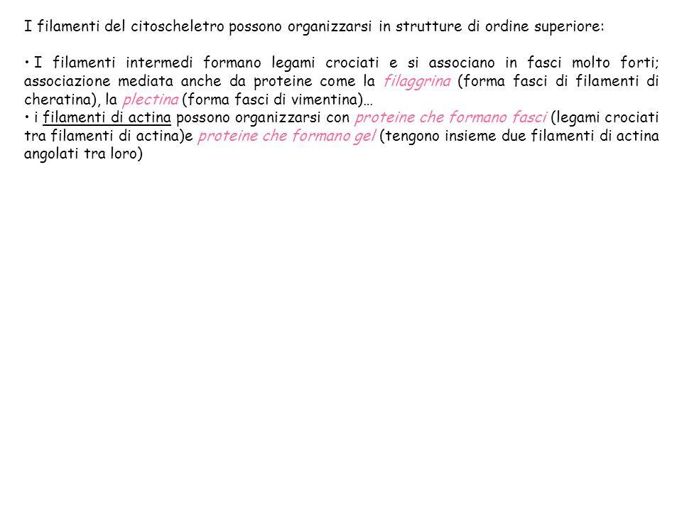 I filamenti del citoscheletro possono organizzarsi in strutture di ordine superiore: I filamenti intermedi formano legami crociati e si associano in f