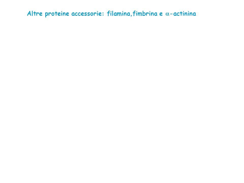 Altre proteine accessorie: filamina,fimbrina e -actinina