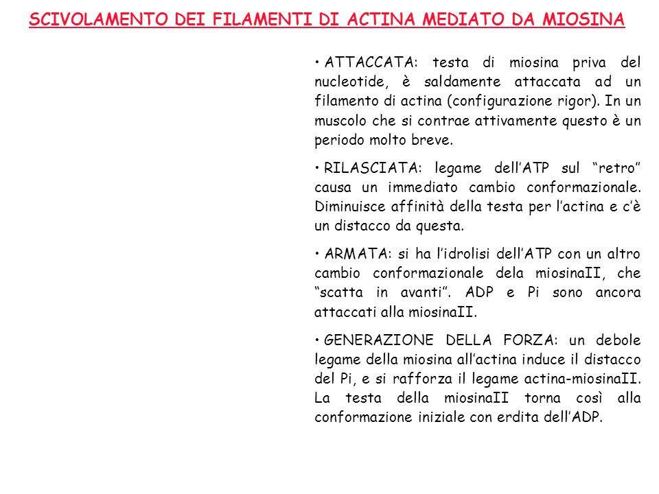 SCIVOLAMENTO DEI FILAMENTI DI ACTINA MEDIATO DA MIOSINA ATTACCATA: testa di miosina priva del nucleotide, è saldamente attaccata ad un filamento di ac