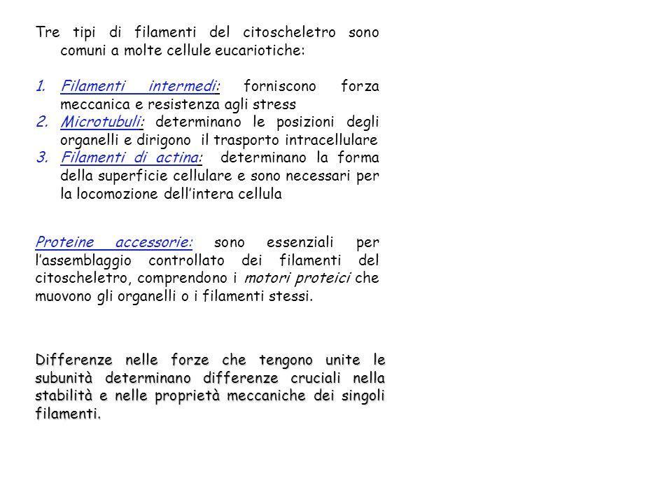 Tre tipi di filamenti del citoscheletro sono comuni a molte cellule eucariotiche: 1.Filamenti intermedi: forniscono forza meccanica e resistenza agli