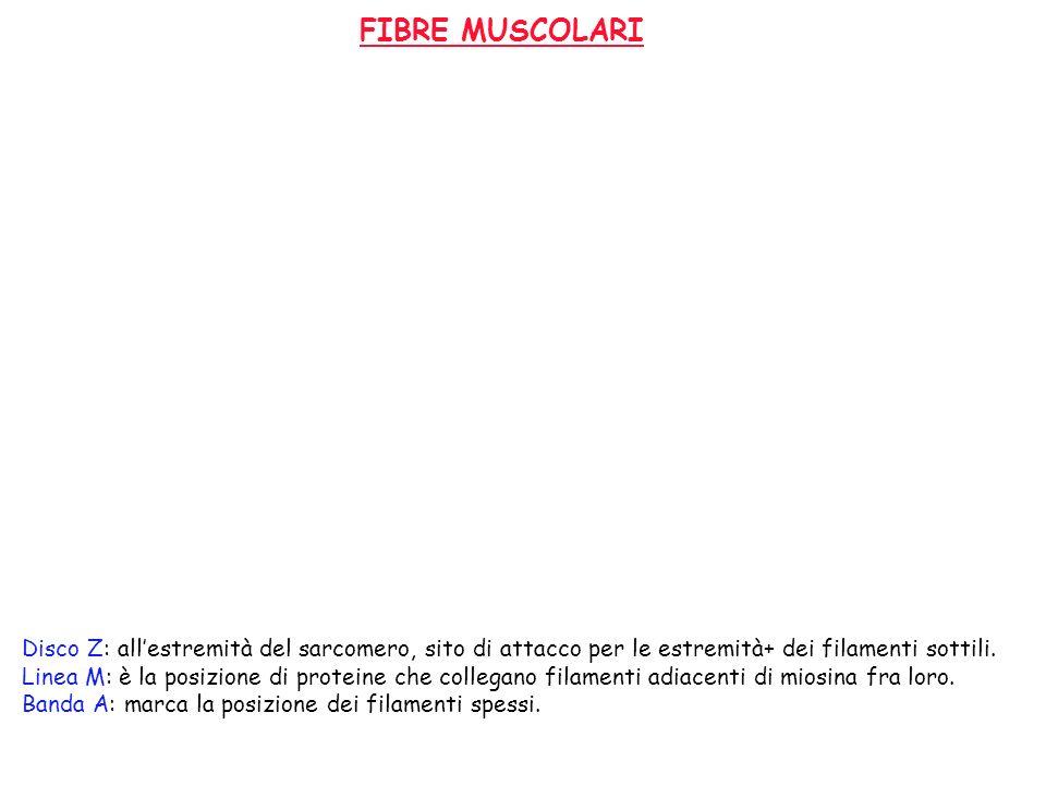 FIBRE MUSCOLARI Disco Z: allestremità del sarcomero, sito di attacco per le estremità+ dei filamenti sottili. Linea M: è la posizione di proteine che