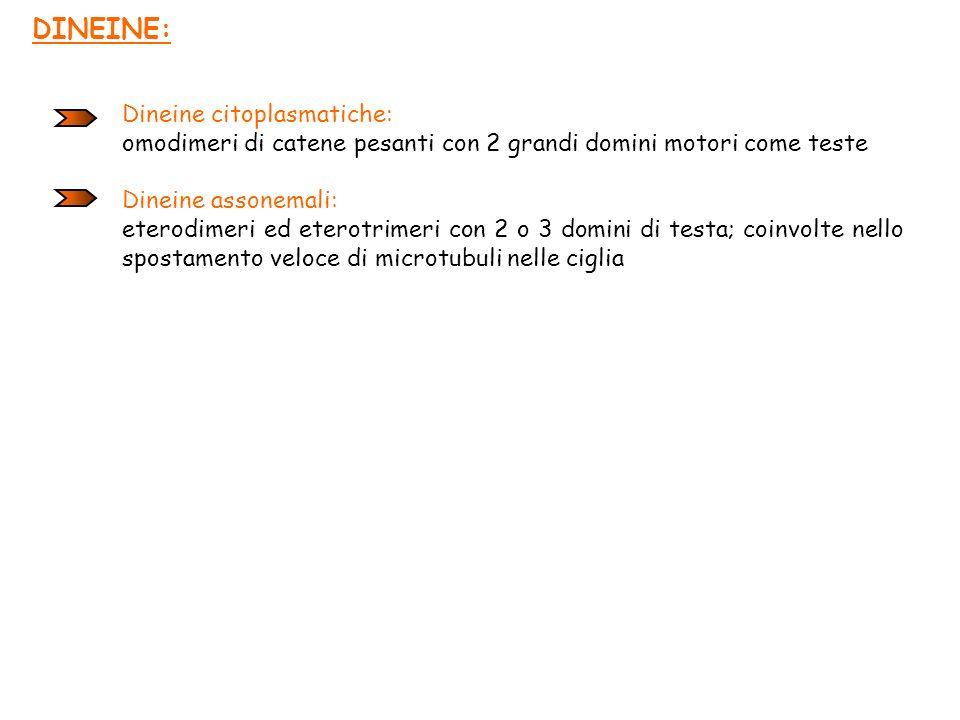 DINEINE: Dineine citoplasmatiche: omodimeri di catene pesanti con 2 grandi domini motori come teste Dineine assonemali: eterodimeri ed eterotrimeri co