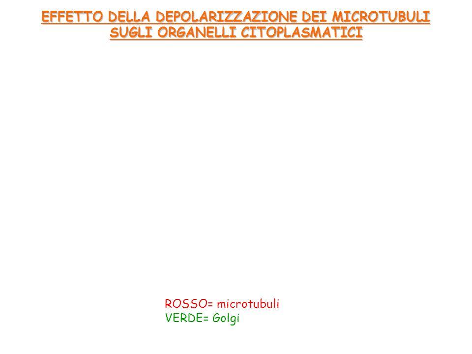 ROSSO= microtubuli VERDE= Golgi EFFETTO DELLA DEPOLARIZZAZIONE DEI MICROTUBULI SUGLI ORGANELLI CITOPLASMATICI