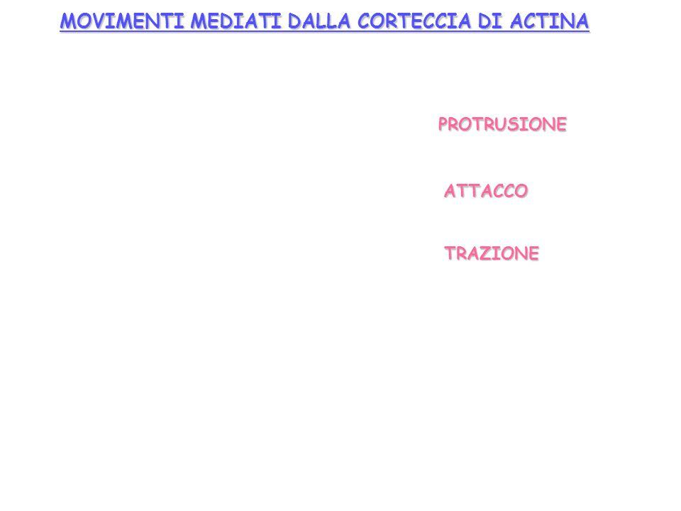 MOVIMENTI MEDIATI DALLA CORTECCIA DI ACTINA PROTRUSIONE ATTACCO TRAZIONE