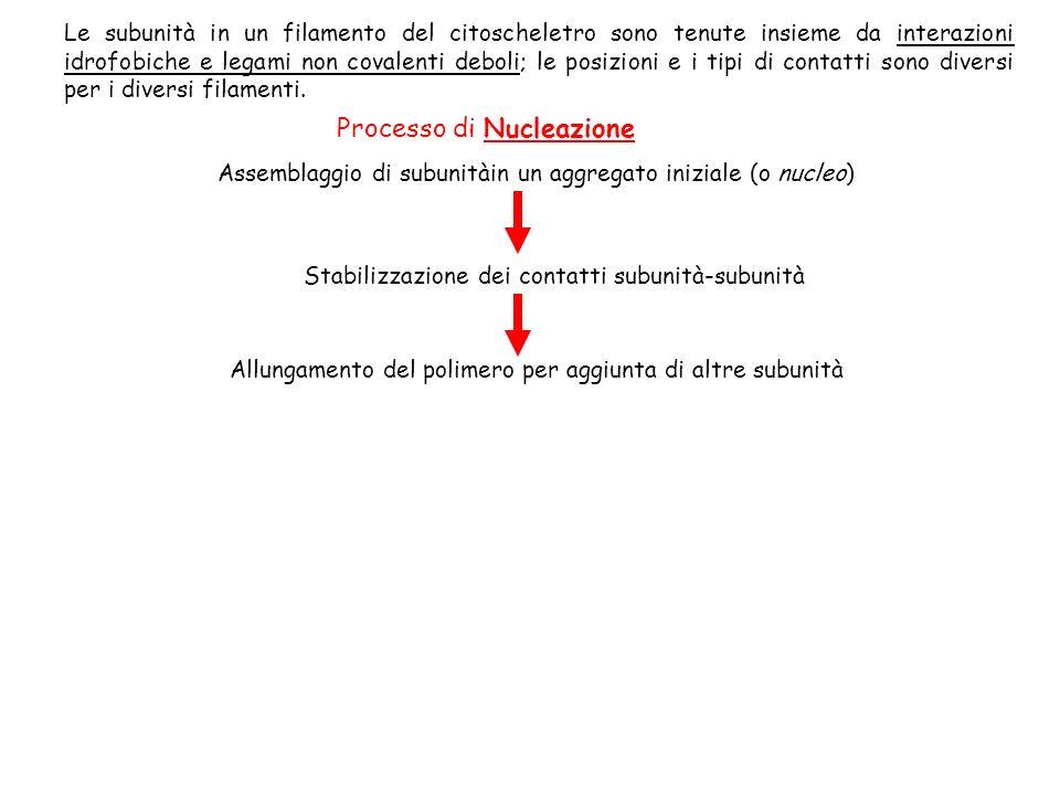 FILAMENTI DI ACTINA sono formati da subunità compatte e globulari di ACTINA le subunità si assemblano testa-coda formando filamenti con una polarità strutturale distinta ciascuna subunità ha un sito di legame per un nucleotide: ATP (o ADP) filamento di actina è composto da due protofilamenti paralleli che si avvolgono luno sullaltro dando unelica destrogira sono filamenti più flessibili possono essere uniti in senso trasversale da una varietà di proteine accessorie che aumentano la forza e stabilità delle strutture formano molti tipi di proiezioni della superficie cellulare, sia dinamiche (lamellipodi e filopodi), che stabili (fasci regolari di stereociglia) dentro le cellule formano disposizioni stabili che permettono alcuni movimenti (contrazione del muscolo)
