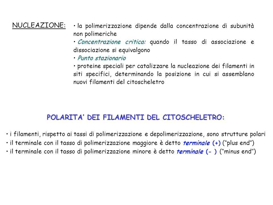 POLARITA DEI FILAMENTI DEL CITOSCHELETRO: i filamenti, rispetto ai tassi di polimerizzazione e depolimerizzazione, sono strutture polari il terminale