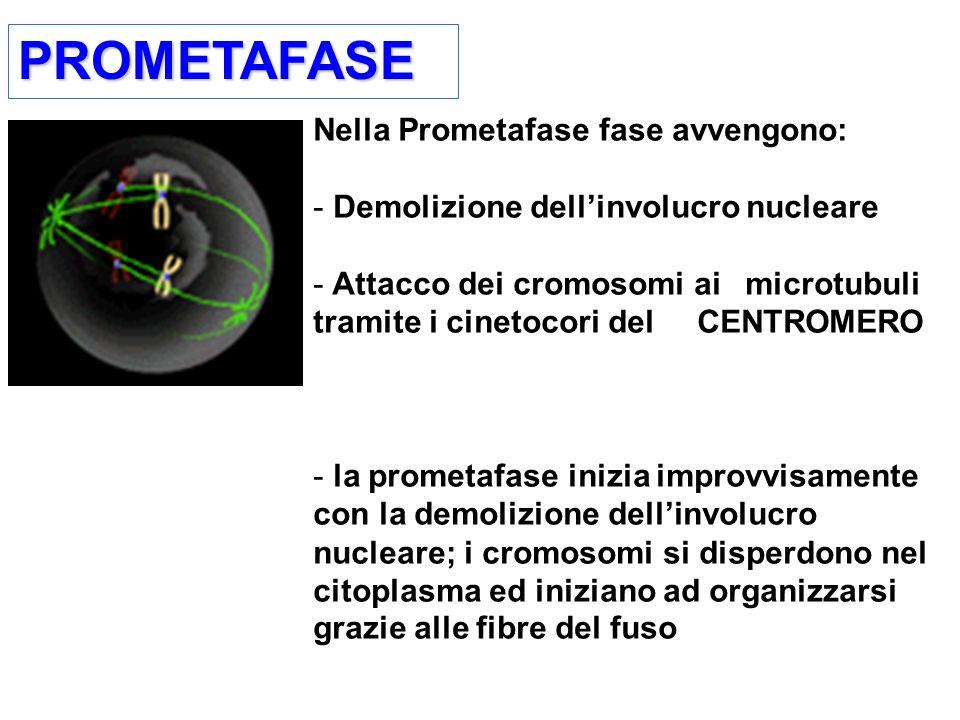 PROMETAFASEPROMETAFASE Nella Prometafase fase avvengono: - Demolizione dellinvolucro nucleare - Attacco dei cromosomi ai microtubuli tramite i cinetocori del CENTROMERO - la prometafase inizia improvvisamente con la demolizione dellinvolucro nucleare; i cromosomi si disperdono nel citoplasma ed iniziano ad organizzarsi grazie alle fibre del fuso