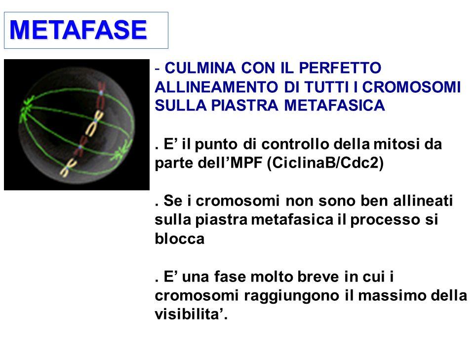METAFASEMETAFASE - CULMINA CON IL PERFETTO ALLINEAMENTO DI TUTTI I CROMOSOMI SULLA PIASTRA METAFASICA.