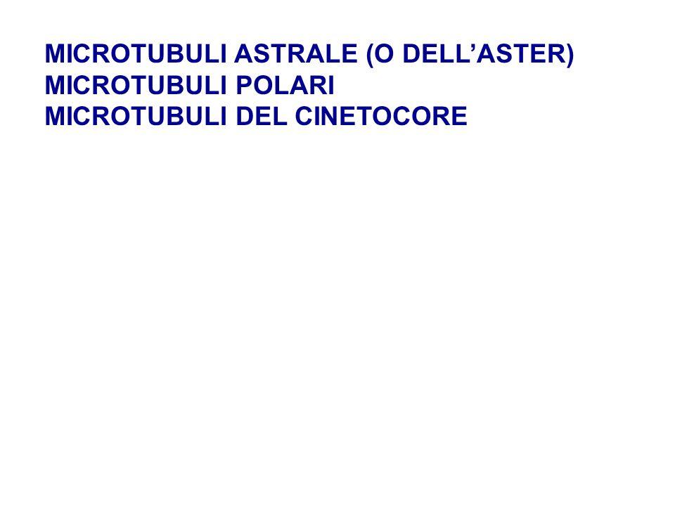 MICROTUBULI ASTRALE (O DELLASTER) MICROTUBULI POLARI MICROTUBULI DEL CINETOCORE