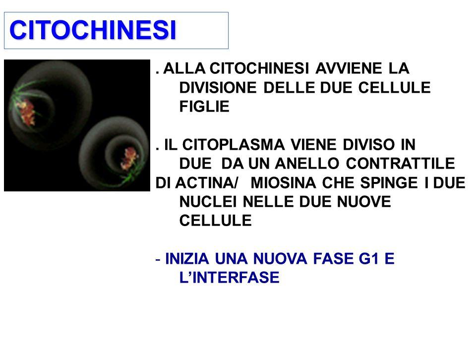 CITOCHINESICITOCHINESI.ALLA CITOCHINESI AVVIENE LA DIVISIONE DELLE DUE CELLULE FIGLIE.
