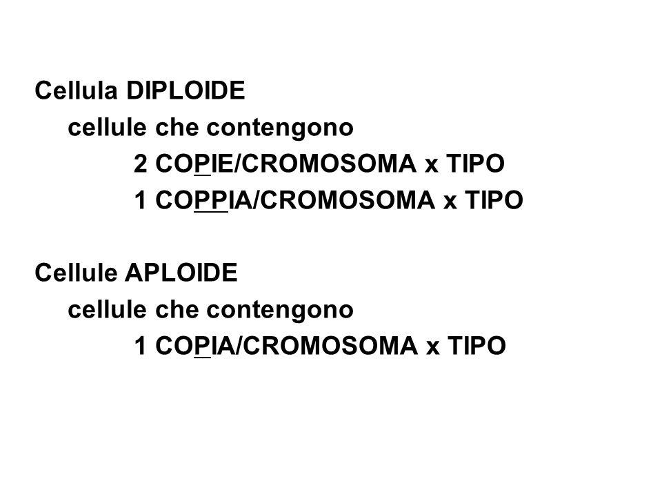 Cellula DIPLOIDE cellule che contengono 2 COPIE/CROMOSOMA x TIPO 1 COPPIA/CROMOSOMA x TIPO Cellule APLOIDE cellule che contengono 1 COPIA/CROMOSOMA x TIPO