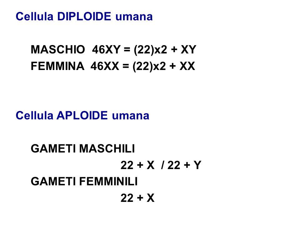 Cellula DIPLOIDE umana MASCHIO 46XY = (22)x2 + XY FEMMINA46XX = (22)x2 + XX Cellula APLOIDE umana GAMETI MASCHILI 22 + X / 22 + Y GAMETI FEMMINILI 22 + X