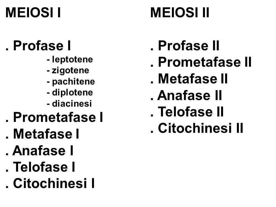 MEIOSI I.Profase I - leptotene - zigotene - pachitene - diplotene - diacinesi.