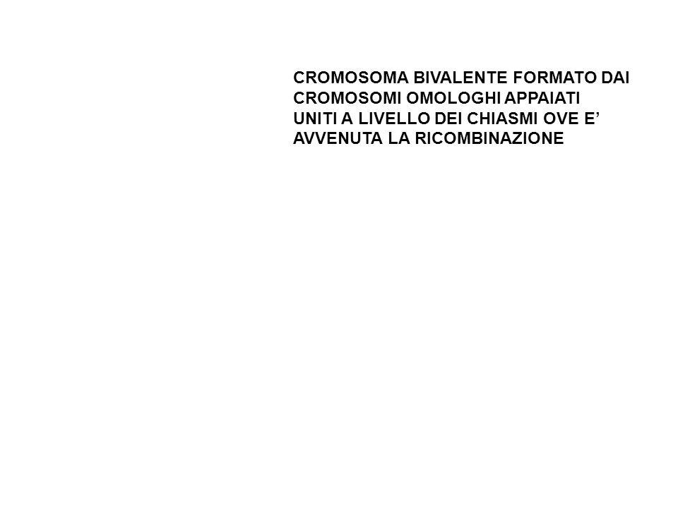 CROMOSOMA BIVALENTE FORMATO DAI CROMOSOMI OMOLOGHI APPAIATI UNITI A LIVELLO DEI CHIASMI OVE E AVVENUTA LA RICOMBINAZIONE