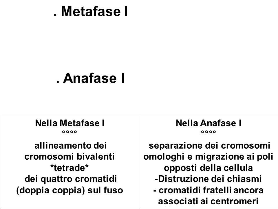 Metafase I.