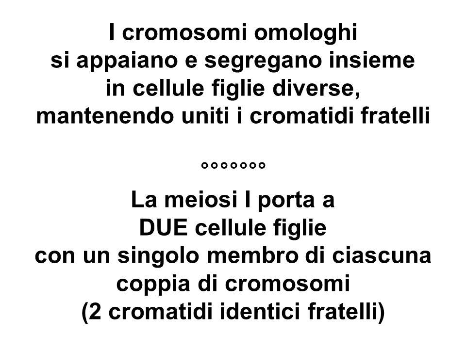 I cromosomi omologhi si appaiano e segregano insieme in cellule figlie diverse, mantenendo uniti i cromatidi fratelli °°°°°°° La meiosi I porta a DUE cellule figlie con un singolo membro di ciascuna coppia di cromosomi (2 cromatidi identici fratelli)
