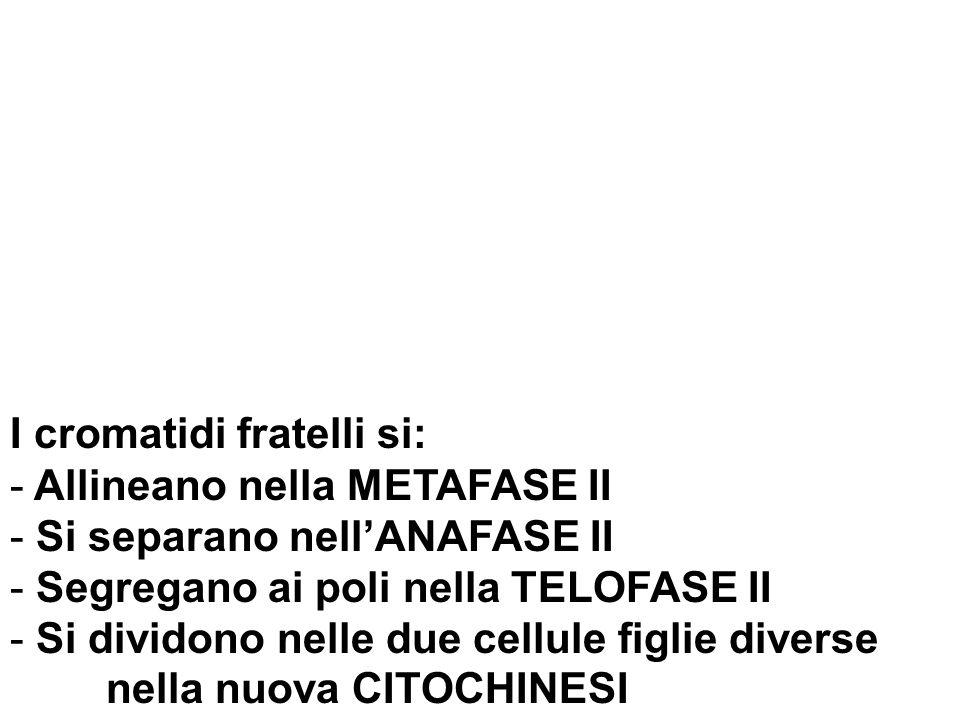 I cromatidi fratelli si: - Allineano nella METAFASE II - Si separano nellANAFASE II - Segregano ai poli nella TELOFASE II - Si dividono nelle due cellule figlie diverse nella nuova CITOCHINESI
