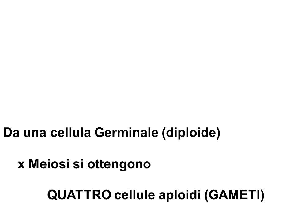 Da una cellula Germinale (diploide) x Meiosi si ottengono QUATTRO cellule aploidi (GAMETI)