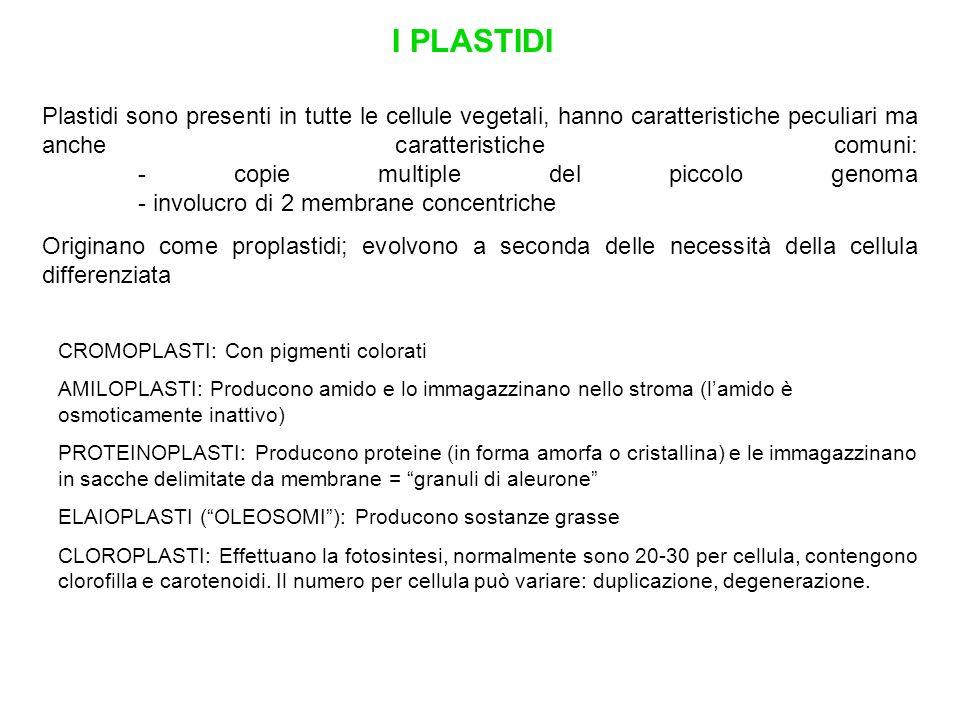 I PLASTIDI CROMOPLASTI: Con pigmenti colorati AMILOPLASTI: Producono amido e lo immagazzinano nello stroma (lamido è osmoticamente inattivo) PROTEINOP