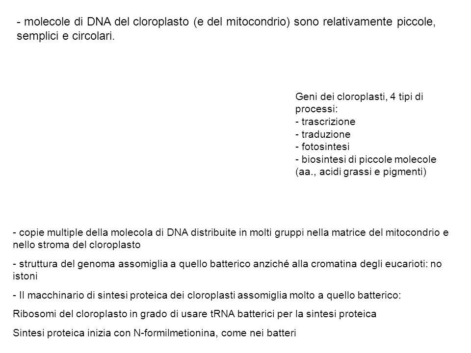 - molecole di DNA del cloroplasto (e del mitocondrio) sono relativamente piccole, semplici e circolari. - copie multiple della molecola di DNA distrib