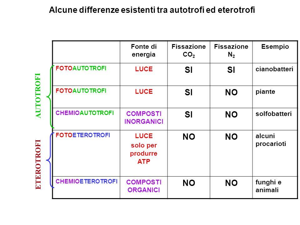 RIBULOSIO 1,5-DIFOSFATO (C 5) 2 ( 3-FOSFOGLICERATO) 2 (C3) CO 2 RIBULOSIO 1,5-DIFOSFATO CARBOSSILASI PM: circa 500.000 (NB: H 2 O 18).