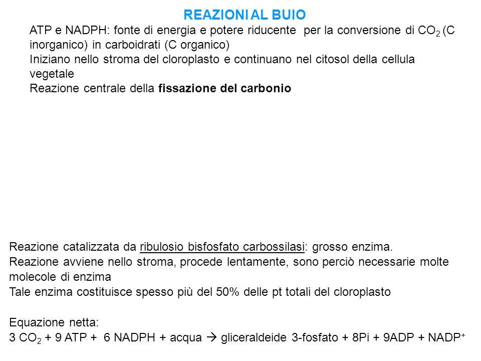 REAZIONI AL BUIO ATP e NADPH: fonte di energia e potere riducente per la conversione di CO 2 (C inorganico) in carboidrati (C organico) Iniziano nello