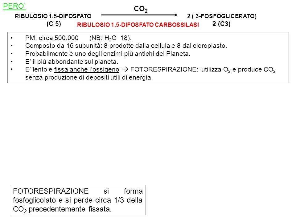 RIBULOSIO 1,5-DIFOSFATO (C 5) 2 ( 3-FOSFOGLICERATO) 2 (C3) CO 2 RIBULOSIO 1,5-DIFOSFATO CARBOSSILASI PM: circa 500.000 (NB: H 2 O 18). Composto da 16