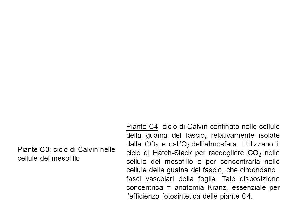 Piante C4: ciclo di Calvin confinato nelle cellule della guaina del fascio, relativamente isolate dalla CO 2 e dallO 2 dellatmosfera. Utilizzano il ci