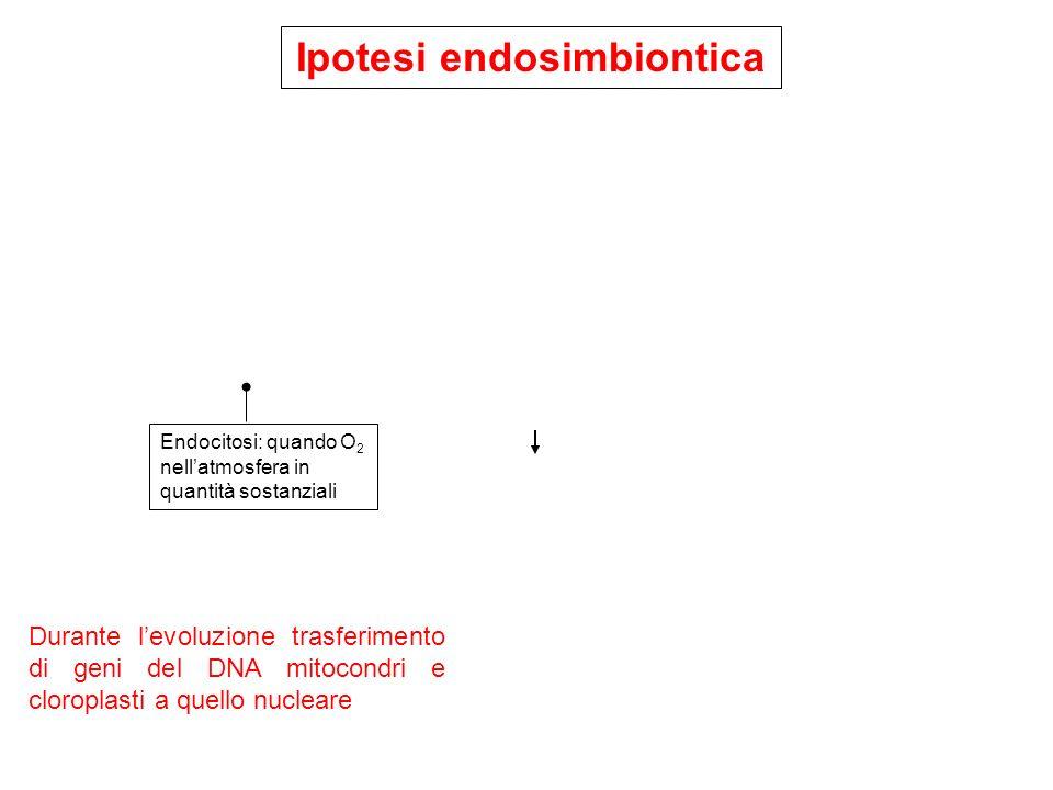 Ipotesi endosimbiontica Endocitosi: quando O 2 nellatmosfera in quantità sostanziali Durante levoluzione trasferimento di geni del DNA mitocondri e cl