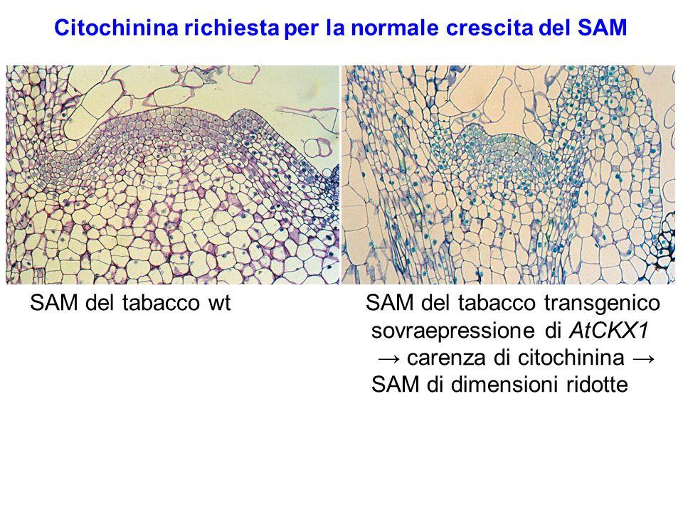 Citochinina richiesta per la normale crescita del SAM SAM del tabacco wt SAM del tabacco transgenico sovraepressione di AtCKX1 carenza di citochinina