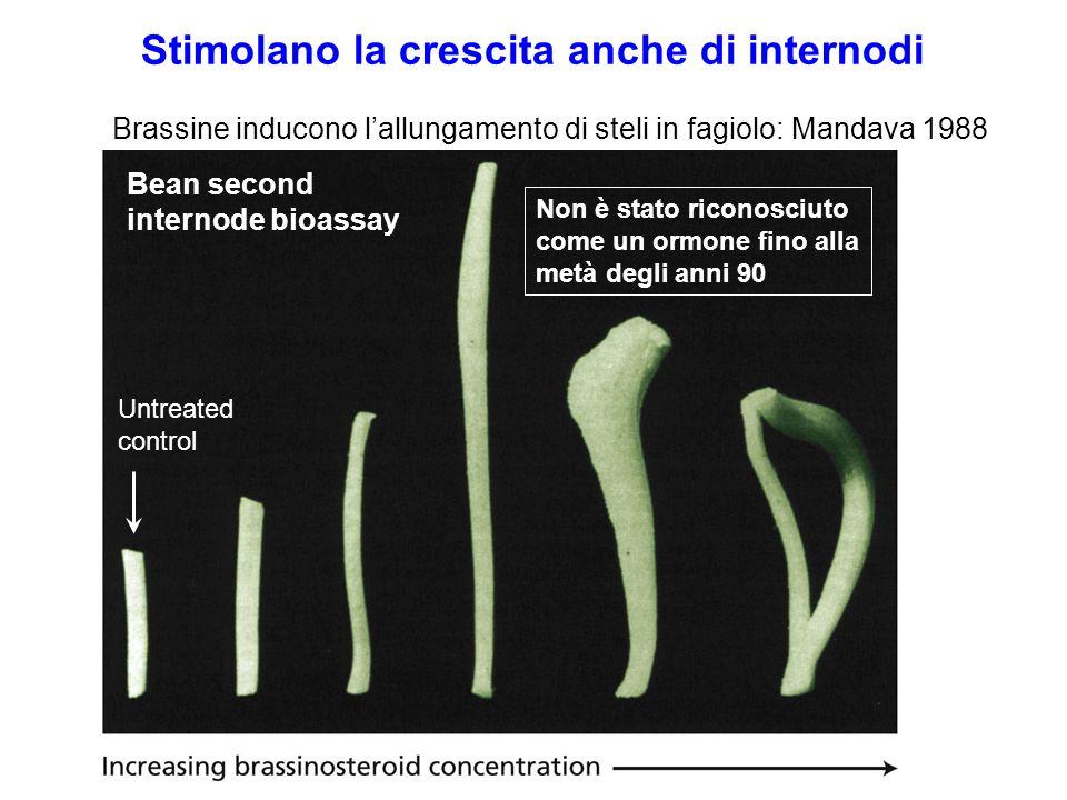 Stimolano la crescita anche di internodi Brassine inducono lallungamento di steli in fagiolo: Mandava 1988 Bean second internode bioassay Untreated co