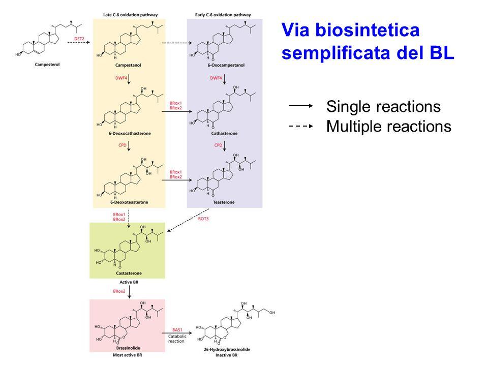 Via biosintetica semplificata del BL Single reactions Multiple reactions