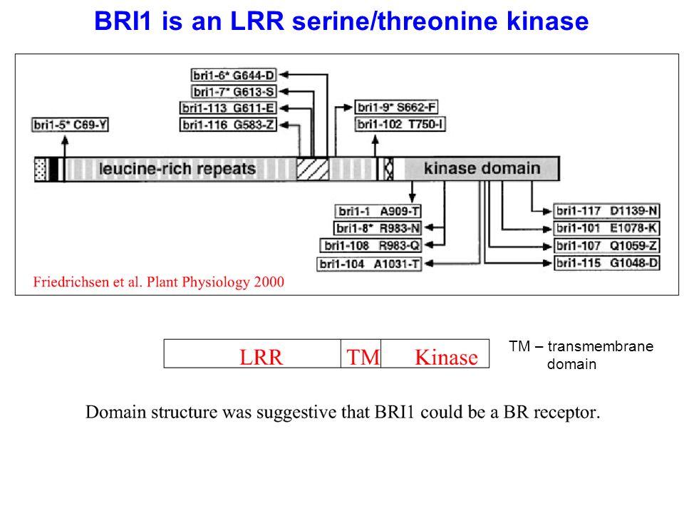 BRI1 is an LRR serine/threonine kinase TM – transmembrane domain