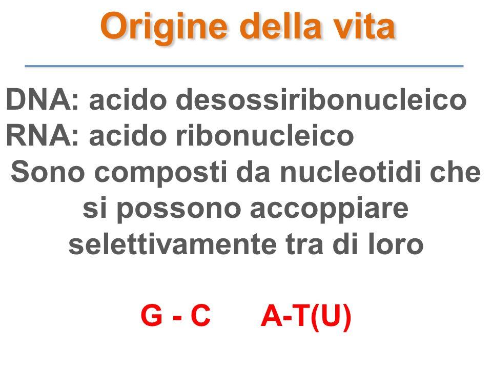 DNA: acido desossiribonucleico RNA: acido ribonucleico Sono composti da nucleotidi che si possono accoppiare selettivamente tra di loro G - C A-T(U) O