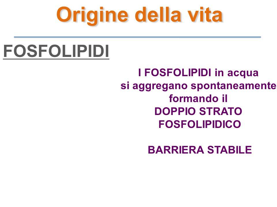 I FOSFOLIPIDI in acqua si aggregano spontaneamente formando il DOPPIO STRATO FOSFOLIPIDICO BARRIERA STABILE FOSFOLIPIDI Origine della vita