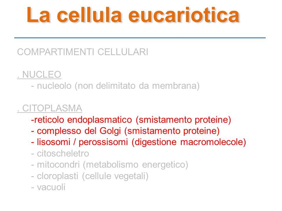 La cellula eucariotica COMPARTIMENTI CELLULARI. NUCLEO - nucleolo (non delimitato da membrana). CITOPLASMA -reticolo endoplasmatico (smistamento prote
