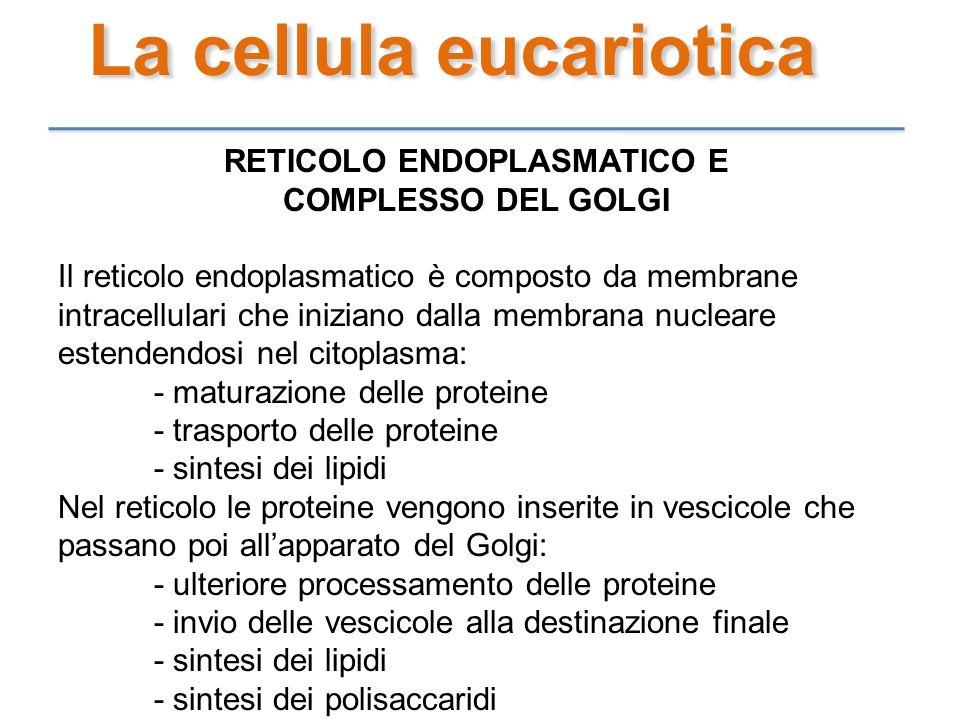 La cellula eucariotica RETICOLO ENDOPLASMATICO E COMPLESSO DEL GOLGI Il reticolo endoplasmatico è composto da membrane intracellulari che iniziano dal
