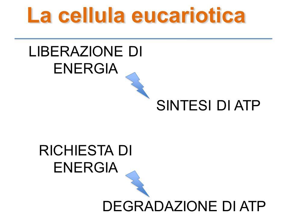 La cellula eucariotica LIBERAZIONE DI ENERGIA SINTESI DI ATP RICHIESTA DI ENERGIA DEGRADAZIONE DI ATP
