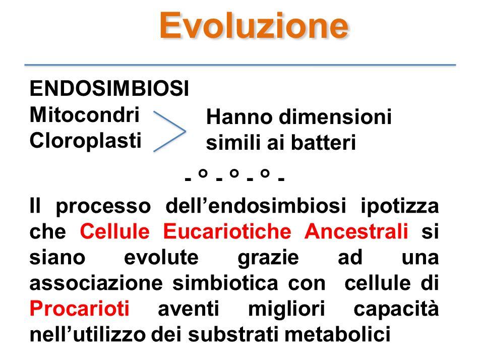Evoluzione ENDOSIMBIOSI Mitocondri Cloroplasti Hanno dimensioni simili ai batteri - ° - ° - ° - Il processo dellendosimbiosi ipotizza che Cellule Euca