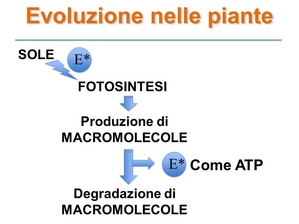 Evoluzione nelle piante SOLE FOTOSINTESI Produzione di MACROMOLECOLE E* Degradazione di MACROMOLECOLE Come ATP