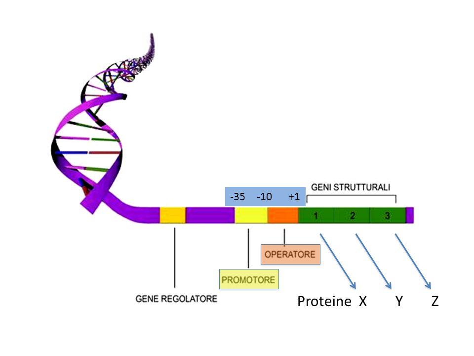 -35 -10 +1 Proteine X Y Z