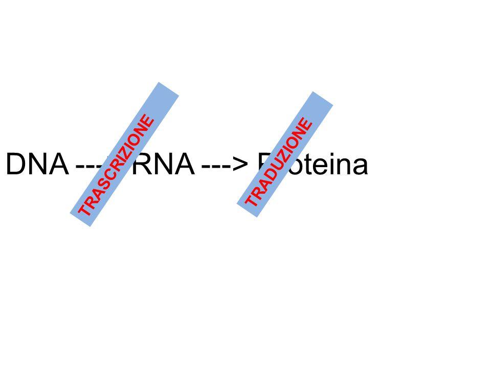 DNA ---> RNA ---> Proteina TRASCRIZIONE TRADUZIONE