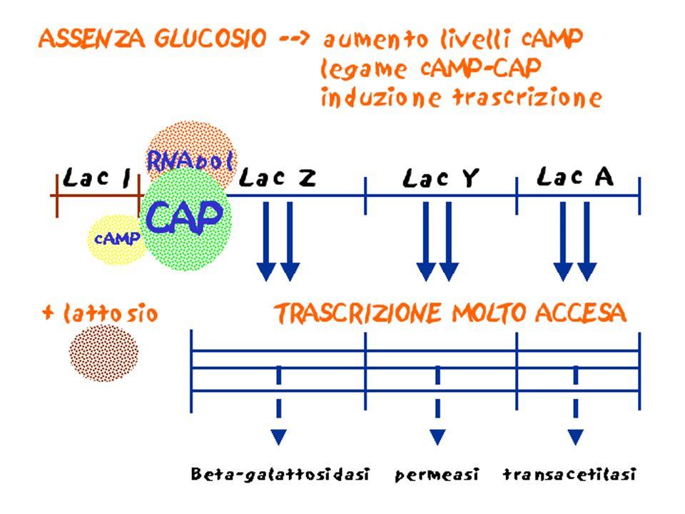 CONTROLLO DELLA TRASCRIZIONE NEI PROCARIOTI PROTEINE BATTERICHE STRUTTURALI (GENI STRUTTURALI) Sono in genere trascritte in modo COSTITUTIVO, a velocità più o meno costante, ed entrano a far parte di membrane, ribosomi, ecc.