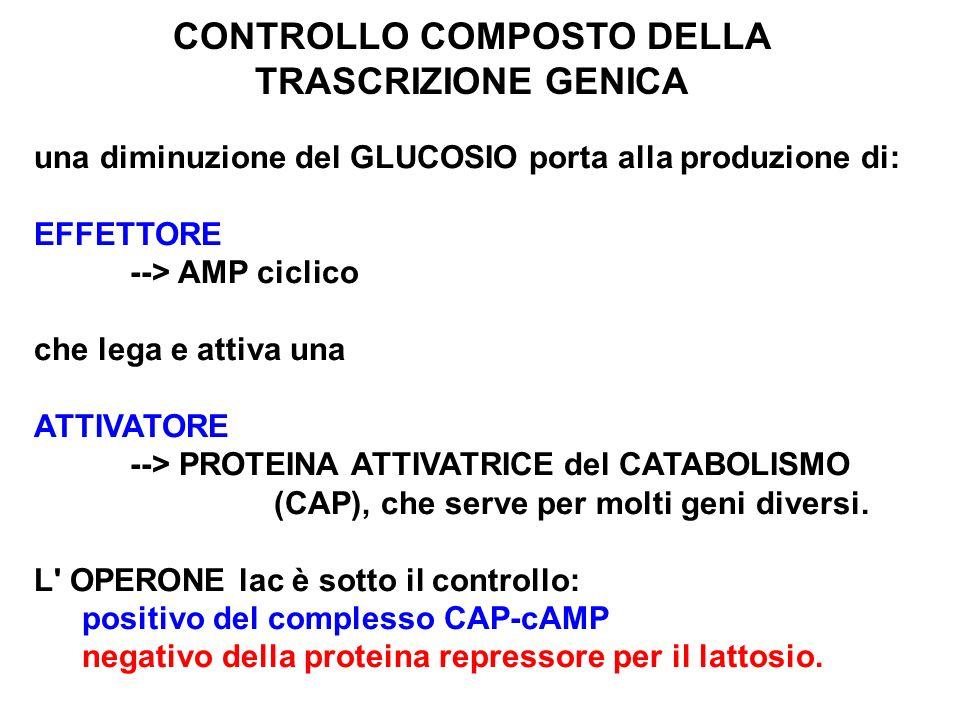 CONTROLLO COMPOSTO DELLA TRASCRIZIONE GENICA una diminuzione del GLUCOSIO porta alla produzione di: EFFETTORE --> AMP ciclico che lega e attiva una AT